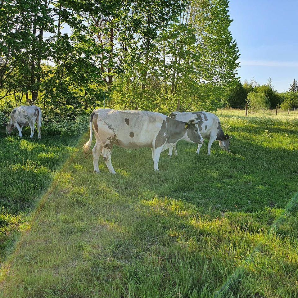 Økologisk ko