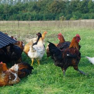 Økologisk kylling Frederikshavn