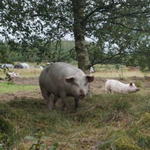 Økologiske grise Aalborg