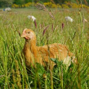 Økologisk kylling Aalborg